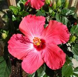Hibiscus tree in summer Royalty Free Stock Image