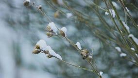 Hibiscus tree in winter. Snow falling on Hibiscus tree closeup stock video