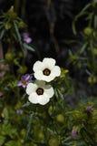 Hibiscus trionum Στοκ εικόνες με δικαίωμα ελεύθερης χρήσης
