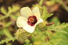 Hibiscus Trionum, allgemein bekannt als Stundenblume, Stockfotos