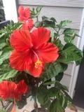 Hibiscus. Plant houseplant patio hibiscus greenthumb red orange flowers Stock Photo