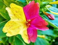 Hibiscus Twee kleuren Stock Afbeelding