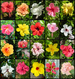 Hibiscus Varieties. A collage of flowers of Hibiscus varieties royalty free stock photography