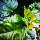 Hibiscus verlässt während der Glättung von Zeit mit dem Grün stockbild