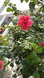 Hibiscus vermelho Foto de Stock Royalty Free