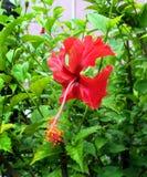 Hibiscus vermelho Foto de Stock