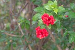 Hibiscus vermelho Fotos de Stock
