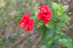 Hibiscus vermelho Imagens de Stock