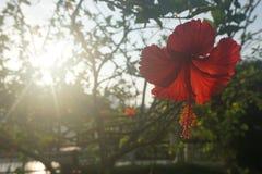 Hibiscus vermelho com fundo do sol de aumentação imagem de stock