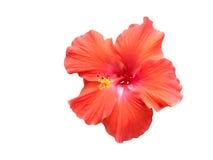 Hibiscus vermelho de encontro ao branco Imagens de Stock Royalty Free