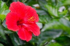 Hibiscus vermelho no bokeh fotografia de stock royalty free