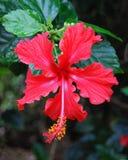 Hibiscus vermelho rosa-siensis Fotografia de Stock