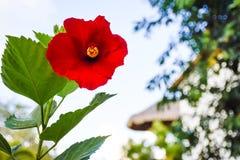 Hibiscus vermelho vibrante Fotografia de Stock Royalty Free