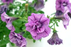 Hibiscus violet Royalty Free Stock Photos