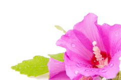 Hibiscus with water drops Stock Photos