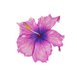 Hibiscus. Watercolor hibiscus on white background Stock Photography