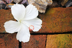 Hibiscus White background Royalty Free Stock Photo