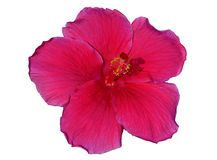 Hibiscus on white background Stock Images