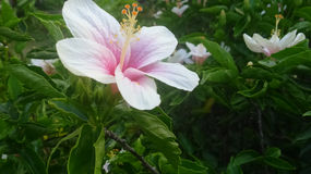 Hibiscus. White petals with attractive scents Royalty Free Stock Photography
