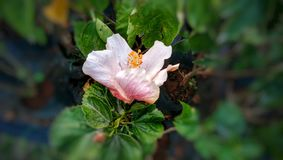 Hibiscus White with red shadows Flower in Mother Nature Garden stock photos