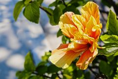 Hibiscus yellow flower Stock Photography