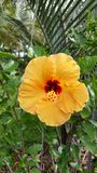 Hibiscus yellow Royalty Free Stock Photography