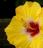 Hibiscus 2. A yellow hibiscus with red center is set against a dark background Stock Image