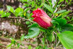 Hibiscusbegin aan het Bloeien Stock Fotografie
