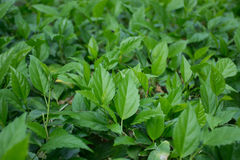 Hibiscusbladeren Stock Afbeelding