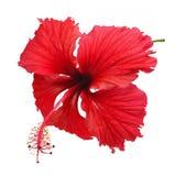 Hibiscusbloem Royalty-vrije Stock Afbeelding
