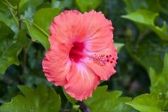 Hibiscusbloem Stock Afbeelding