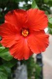 Hibiscusbloem in de Bermudas Royalty-vrije Stock Afbeeldingen