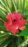 Hibiscusbloem in de struik royalty-vrije stock foto