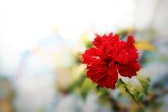 Hibiscusbloem die in de tuin bloeien stock foto's