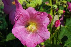 Hibiscusbloem met bij Royalty-vrije Stock Foto's