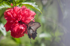 Hibiscusbloem met vlinder Stock Fotografie