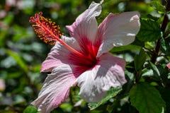 Hibiscusbloem op een struik royalty-vrije stock foto