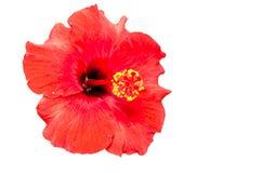Hibiscusbloemen Stock Foto