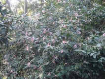 hibiscusbloemen in de struiken stock afbeeldingen