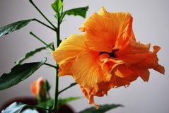 Hibiscusbloemen op een witte achtergrond Stock Foto