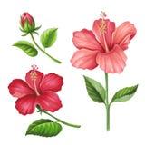 Hibiscusbloemen op een witte achtergrond Schets in alcohol m wordt gedaan dat Royalty-vrije Stock Foto's