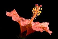 Hibiscusblume stockfotografie