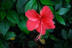 Hibiscusblume Stockfotos