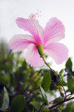 Hibiscusblume Stockbilder