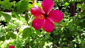 Hibiscusblume am Garten im Französisch-Polynesien stock footage