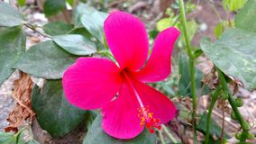 Hibiscusblume, Hibiscus, rosafarbene Malve Lizenzfreie Stockfotos