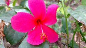 Hibiscusblume, Hibiscus, rosafarbene Malve Stockfoto