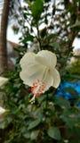 Hibiscusblume, Hibiscus, rosafarbene Malve Lizenzfreies Stockbild