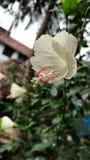 Hibiscusblume, Hibiscus, rosafarbene Malve Stockbild