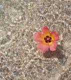 Hibiscusblume im Wasser lizenzfreies stockbild